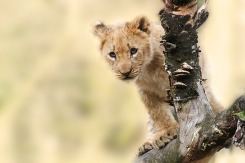 Baby Lion South Africa
