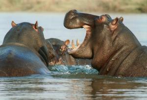 Hippo on Safari in South Africa