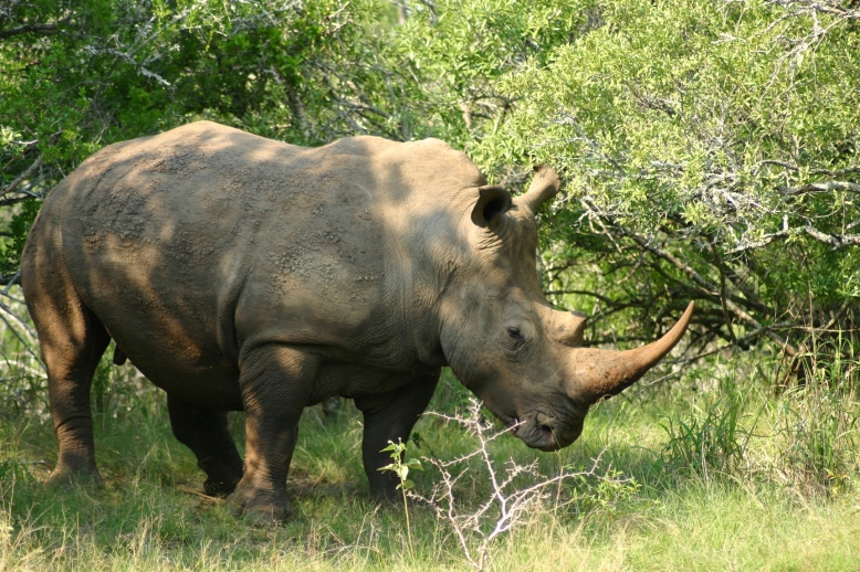 Rhino on a South Africa Safari