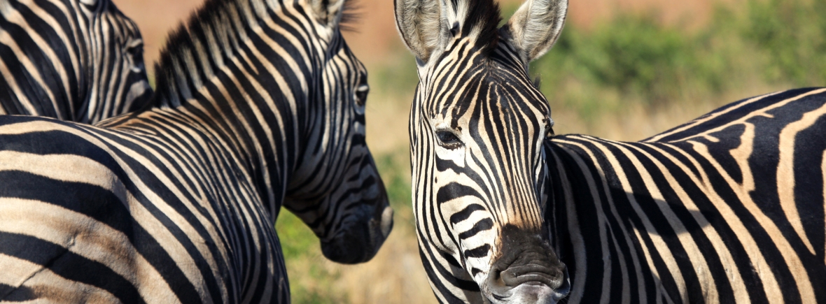 Panorama Route Self-Drive holiday. See zebras on safari