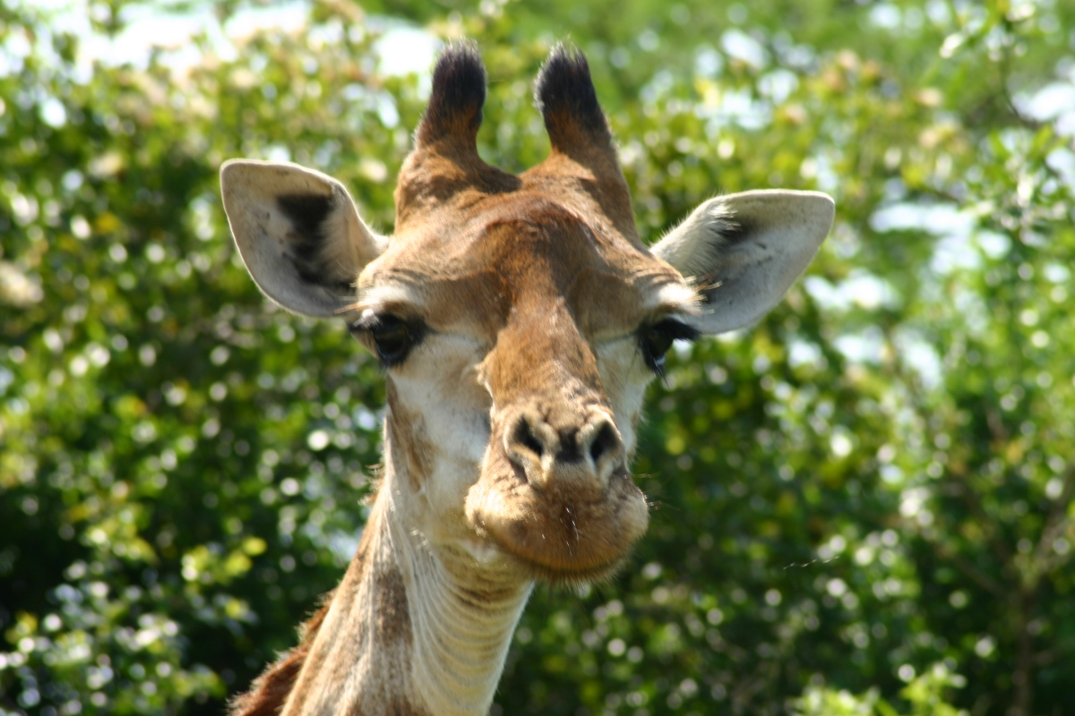 Search for Giraffe on a South Africa Safari