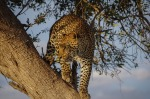 South Africa Safari Packages - Tree climbing Leopard